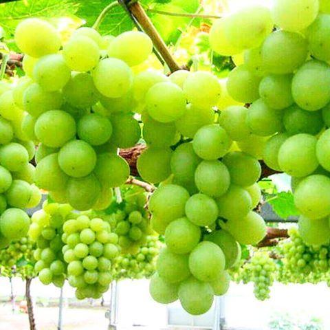 فصل پاییزی انگورهای شاهرود